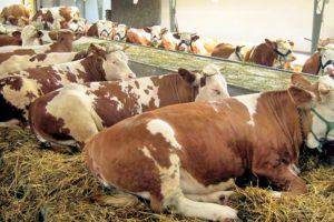 ZSS: Hoćemo li iskoristiti ponuđene šanse za razvoj proizvodnje junećeg mesa?