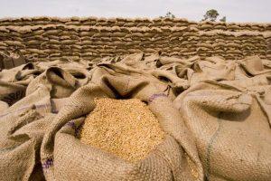 Može li srpska pšenica u Egipat