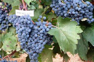 Naučnici pokrenuli projekat zaštite autohtonih vinovih loza