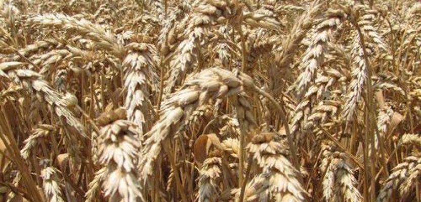 Razmena semenske za merkantilnu pšenicu