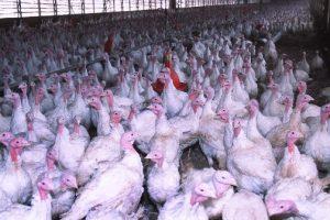 U Mađarskoj uništavaju 9.000 ćurki zbog ptičjeg gripa