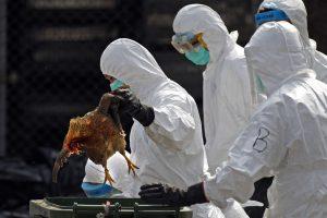 Širi se virus ptičjeg gripa