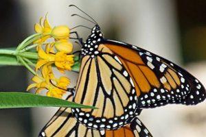 Irvasi i leptiri nestaju u Kanadi
