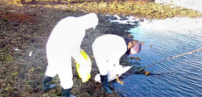 Ptičji grip na Velikom bačkom kanalu