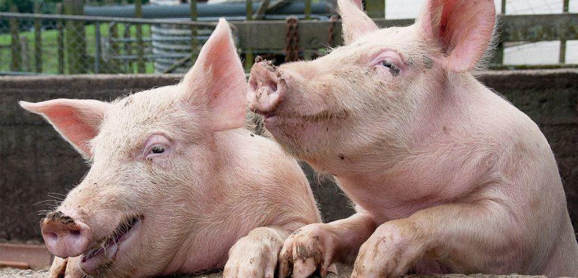 Da li je moguće predvideti cenu svinja u Srbiji?