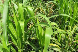 Upozorenje ratarima pred prolećnu setvu kukuruza