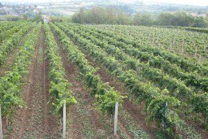 Izvoz vojvođanskih vina na EU tržište