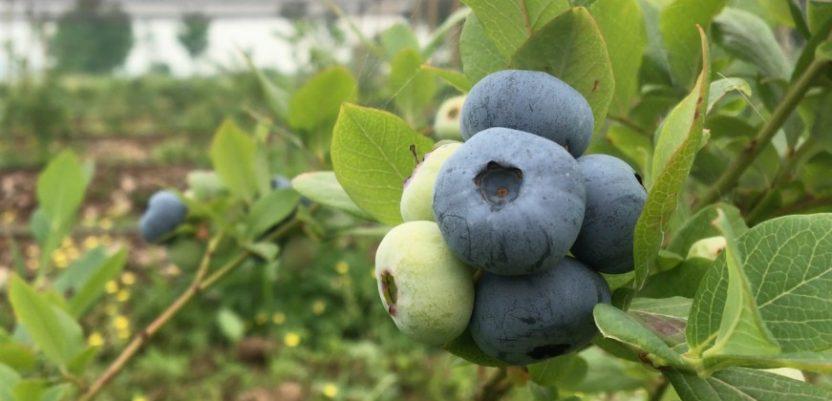 Lučani: Voćarima besplatno sadnice maline, jagode i borovnice