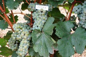 Petra šampion Sajma vina u Paraćinu