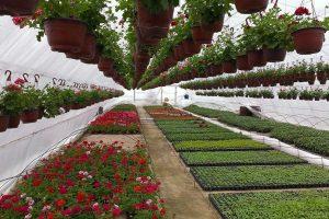 Cveće iz plastenika za Pomoravlje i Beograd