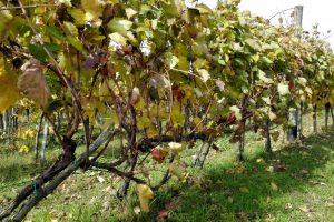 Obnova vinogradarstva u Braničevu