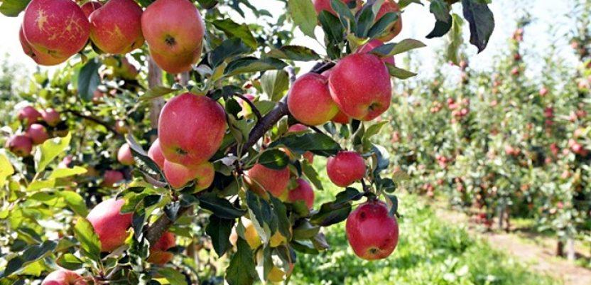 Keserović: Manji rod voća ove godine