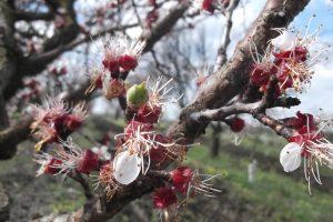 Spasite voće od mraza