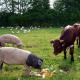 EU: I na meso iz uvoza uvesti standard o dobrobiti životinja