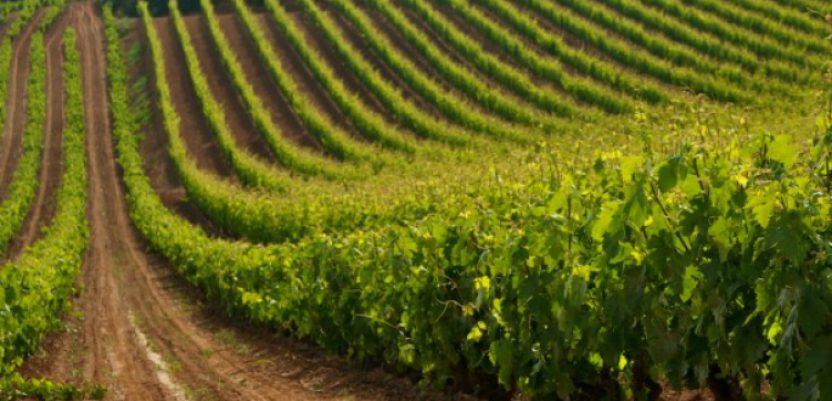 Kratošija iznedrila crnogorski sortiment vinove loze