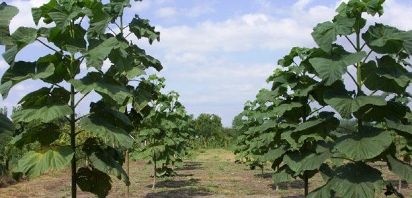 Paulovnija – brzorastuće drvo za brzu zaradu