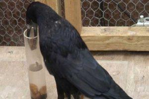 Žedne vrane buše cevi za navodnjavanje