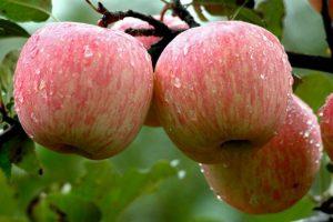 Manji prošlogodišnji rod voća