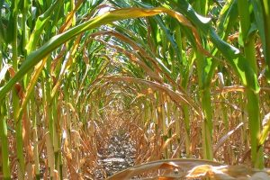 Očigledan uticaj klimatskih promena na poljoprivredu