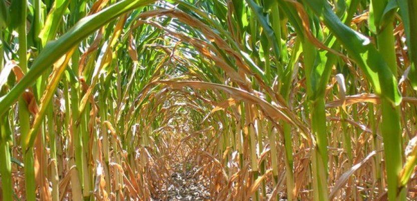 Koliko klimatske promene koštaju domaću poljoprivredu?