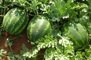 Najveći proizvođač lubenica na Balkanu dolazi iz Srema