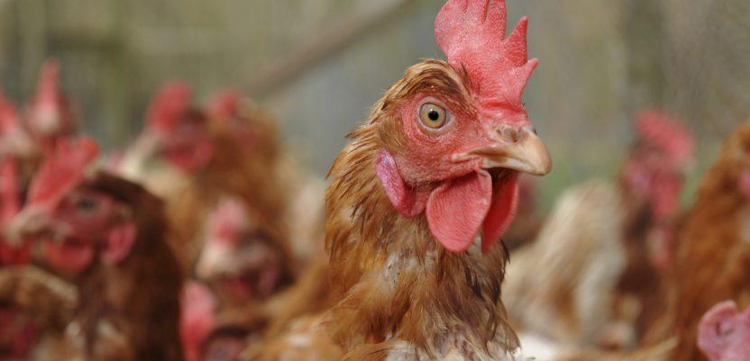 EU: Još jedna zabranjena hemikalija na farmama pilića