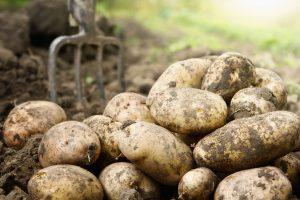Kako spremiti krompir za zimu