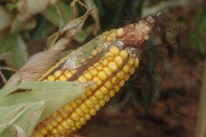 Farmeri strepe od pojave aflatoksina