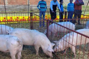 Sajam svinja u Kuzminu