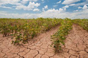 Potrebne nove sorte žitarica, otporne na sušu