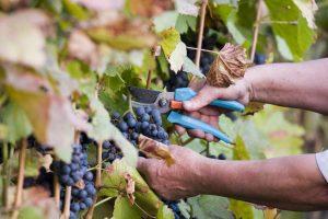 Dobar rod grožđa – rane sorte već obrane