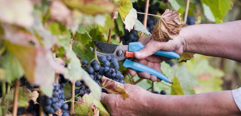Suša donela jednu dobru stvar – slađe grožđe