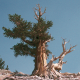U opasnosti budućnost najdugovečnije vrste drveta