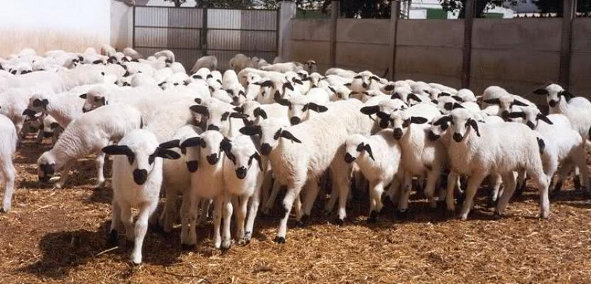 Uzgoj sjeničke ovce najprofitabilniji