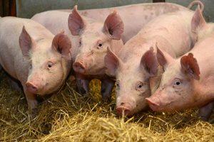 Preventiva jedini lek protiv afričke kuge svinja