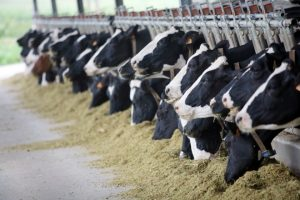 Kako odgajati srećne krave?
