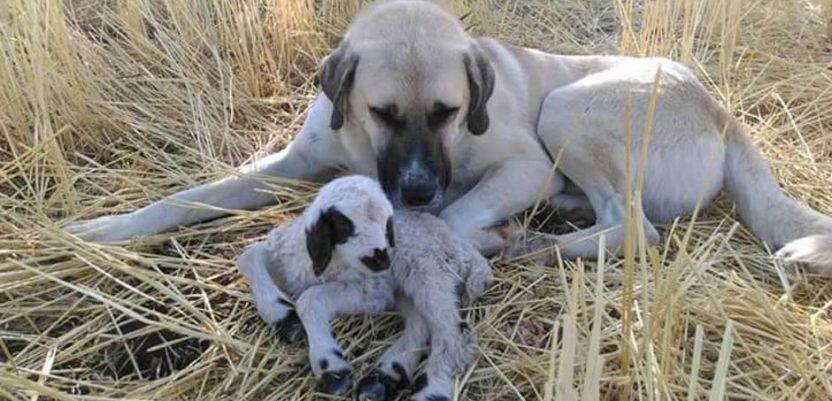 Neobično prijateljstvo psa i jagnjeta