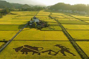 Kina: Uzgoj pirinča u slanoj vodi