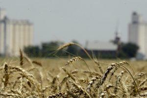 Uzgajanje pšenice u SAD na rekordno niskom nivou