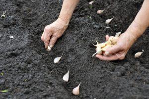 Jesenja setva i sadnja povrtarskih kultura