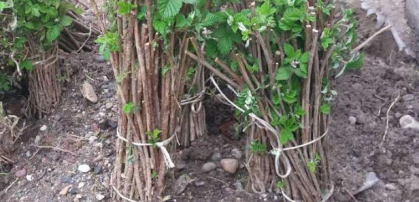 Kvalitetan sadni materijal sorte vilamet za dve godine na tržištu