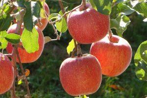 Lansirani prvi fjučersi za jabuke