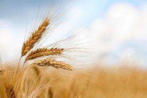Apsolutni primat pšenice na tržištu