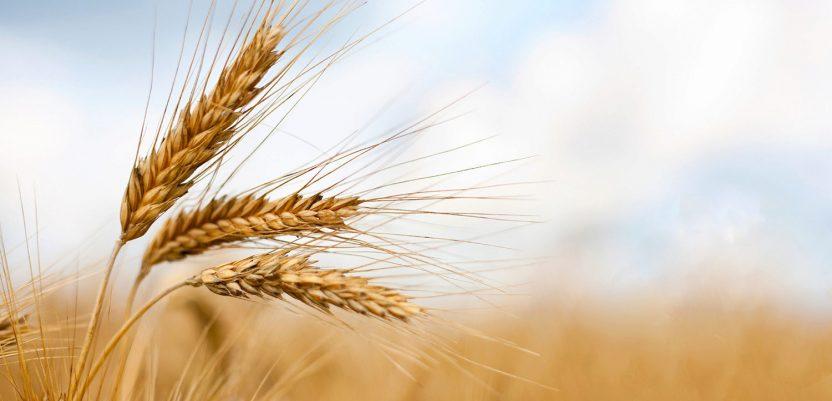 Povećana tražnja za pšenicom
