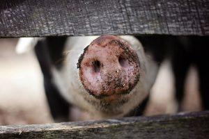 Afrička kuga ubiće četvrtinu svetske populacije svinja