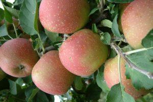 Turci sade jabuke u Laćarku