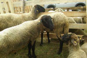 Država stimuliše ovčarstvo
