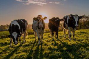 Slobodan sistem držanja krava za kvalitetnije mleko