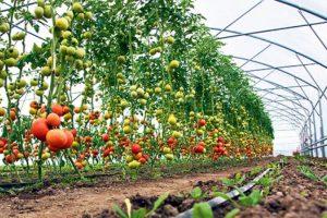 Povrtari da proizvode rano povrće
