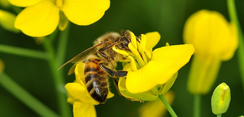 Danas je Svetski dan pčela